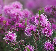 Kunzea parvfolia. by Bette Devine