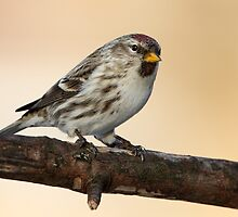 Late Light Redpoll by Gary Fairhead