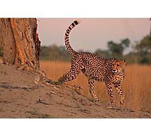 Feline beauty Photographic Print