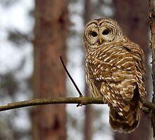 Barred Owl on a limb by Jim Cumming