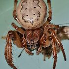 Orb Weaver by William Brennan
