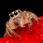 (Servaea vestita) Jumping Spider On Rose #2 by Kerrod Sulter