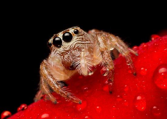 (Servaea vestita) Jumping Spider On Rose #2 by Kerrod Sulter