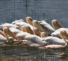 Pelicans by Jane Horton