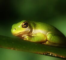 My Favorite Tree Frog #2 by deborah zaragoza