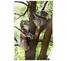 Mother & Son Koalas Poster