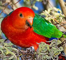 King Parrot by Steve Bass