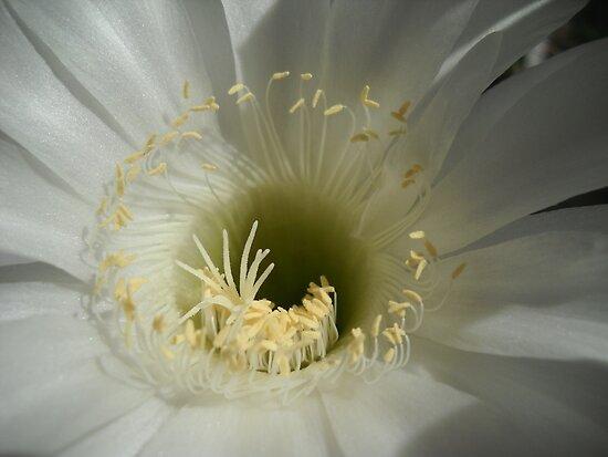 Kaktus Flower Macro. by Vitta