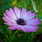 Osteospermum Flower #1 by AlexanderJones
