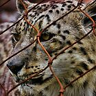 Snow Leopard by Culrick99