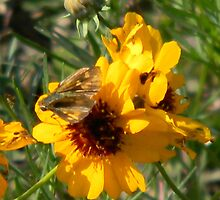 Moth on Weathered Coreopsis by Navigator