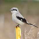 Shrike-on-a-Stick by Todd Weeks