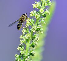 Hoverfly in the Lavender Garden by Helen J Cherry