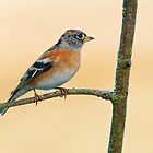 Brambling by Margaret S Sweeny