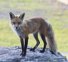 Fox on the Rocks by MarquisImages