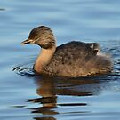 Hoary Headed Grebe (Breeding Plumage) taken Lake Crackenback by Alwyn Simple