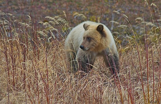 The Grizzly Bear by Chris  Gale