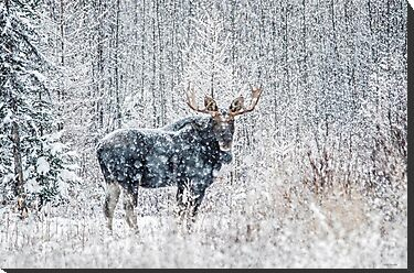 Bull Moose In Snow Storm  by Chris  Gale