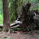 Uprooted : Olympic National Park by Gstudio