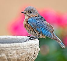 Bluebird's Daily Dip by Bonnie T.  Barry