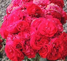 Roses (8776) by ScenerybyDesign