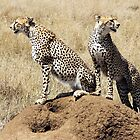 Cheetahs on termite mound in Serengeti by Hannah Nicholas