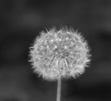 B&W Dandelion by Memory-Remains