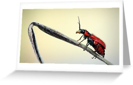 Red beetle  by jimmy hoffman