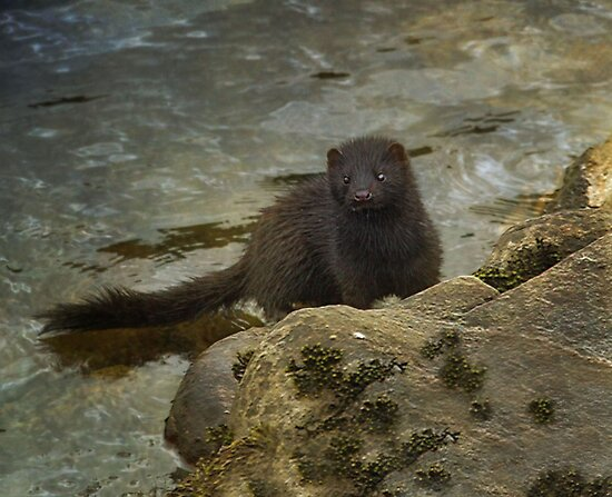 """Wild river Mink"" by peaky40"