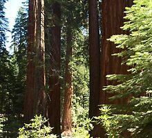 Mariposa Redwoods by Hayley R. Howard