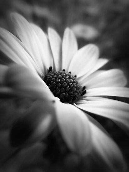 If I Wish ~BW Daisy Flower  by Lisa McDowell