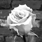 Rose black and white by katiebytheway