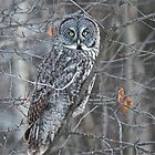 Great Grey Ghost Owl by Chris  Gale