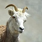 Stone Sheep Portrait by Chris  Gale