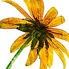 Grungy Black-eyed Susan on White-iPad by onyonet photo studios