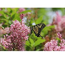 Canadian Tiger Swallowtail Butterfly  Photographic Print
