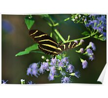 Florida butterfly Poster