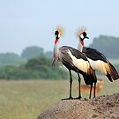 Crowned Cranes by Hannah Nicholas