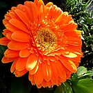 Gerbera for joy by Ana Belaj