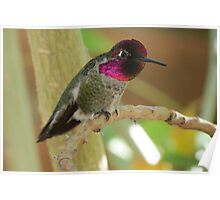 Anna's Hummingbird (Male) Poster