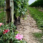 A Rose in the Vineyard by Morgan Booker