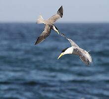 Sea Swallows by byronbackyard