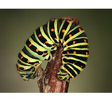 Papilio caterpillar Photographic Print