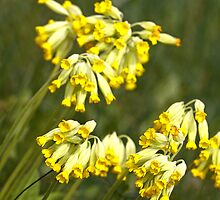 Cowslip by Cebas