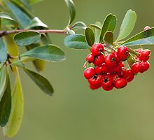 Pyracantha by BGSPhoto