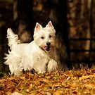 The Westie by Lover1969