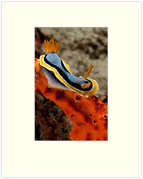 Chromodoris annae, Wakatobi National Park, Indonesia by Erik Schlogl