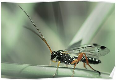 Wasp - Cream-spotted Ichneumon by David Toolan