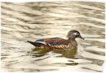 Mrs. Wood Duck by Dlouise