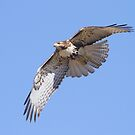 110312 Red Tailed Hawk by Marvin Collins